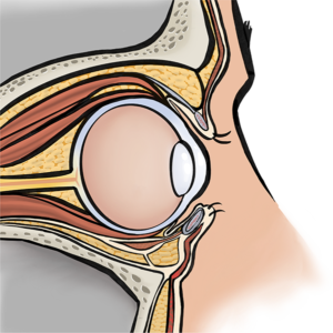 Side view of the eyelids